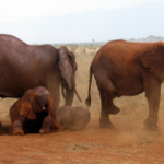 African Bush Elephants in Tsavo East National Park (img: Mgiganteus1)