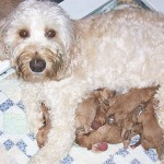 A Labradoodle nursing puppies
