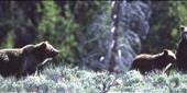 Grizzly Bear kills Man visiting Yellowstone National Park