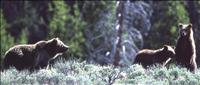 Grizzly Bears Yellowstone National Park - Credit: National Park Service