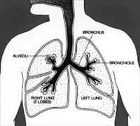 Lungs Diagram Credit: National Cancer Institute - PD